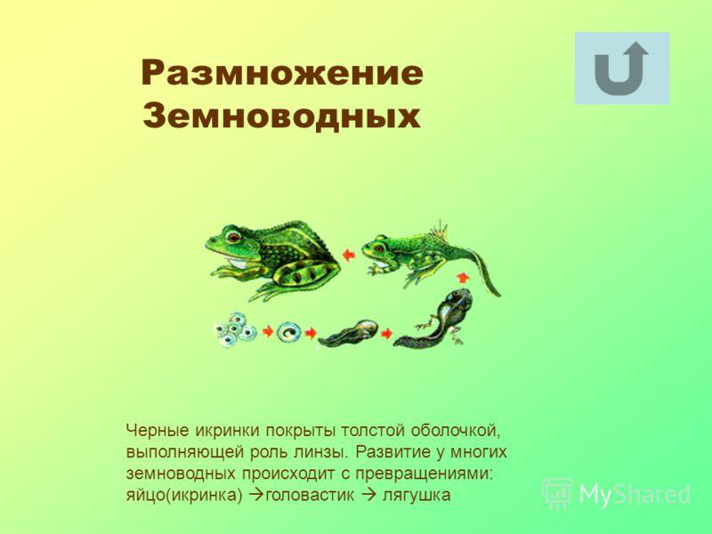 Размножение Земноводных Черные икринки покрыты толстой оболочкой, выполняющей роль линзы. Развитие у многих земноводных происходит с превращениями: яйцо(икринка) головастик лягушка