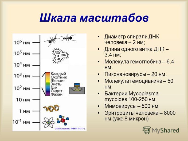 Шкала масштабов Диаметр спирали ДНК человека – 2 нм; Длина одного витка ДНК – 3.4 нм; Молекула гемоглобина – 6.4 нм; Пиконановирусы – 20 нм; Молекула гемоцианина – 50 нм; Бактерии Mycoplasma mycoides 100-250 нм; Мимовирусы – 500 нм Эритроциты человек