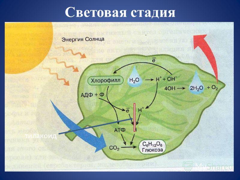 Световая стадия тилакоид