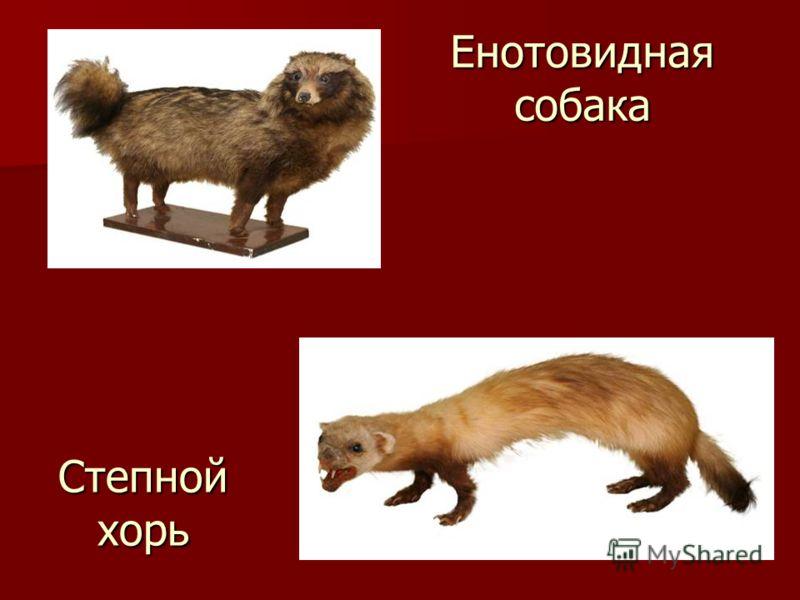 Енотовидная собака Степной хорь