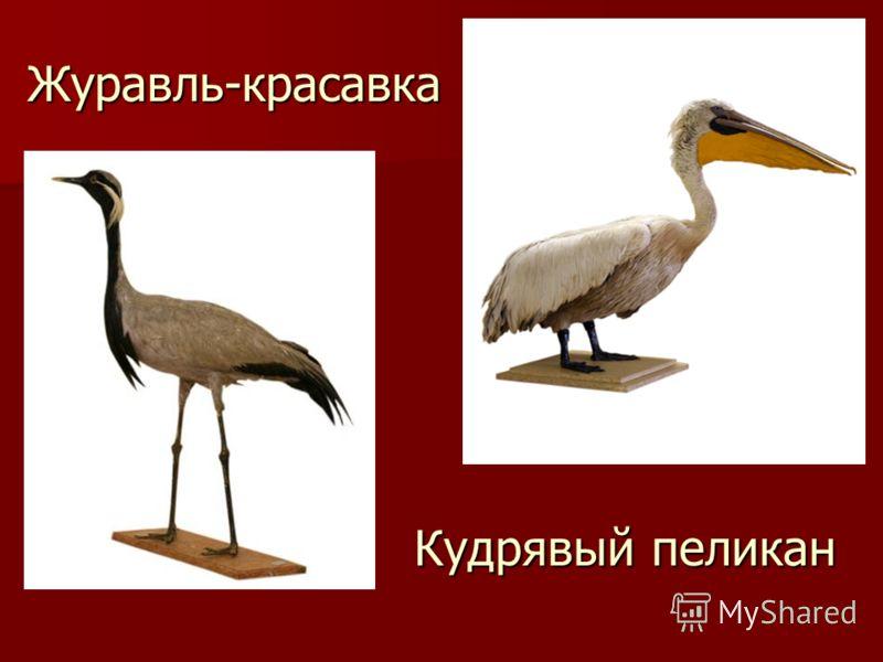 Журавль-красавка Кудрявый пеликан