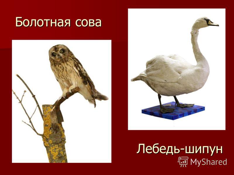 Болотная сова Лебедь-шипун