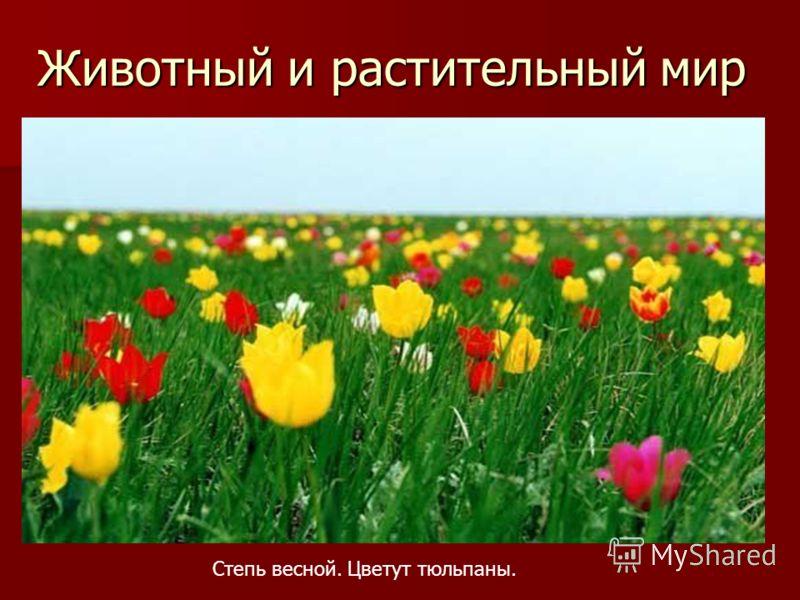 Животный и растительный мир Степь весной. Цветут тюльпаны.