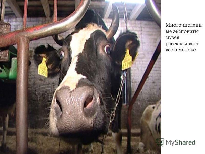 Многочисленн ые экспонаты музея рассказывают все о молоке