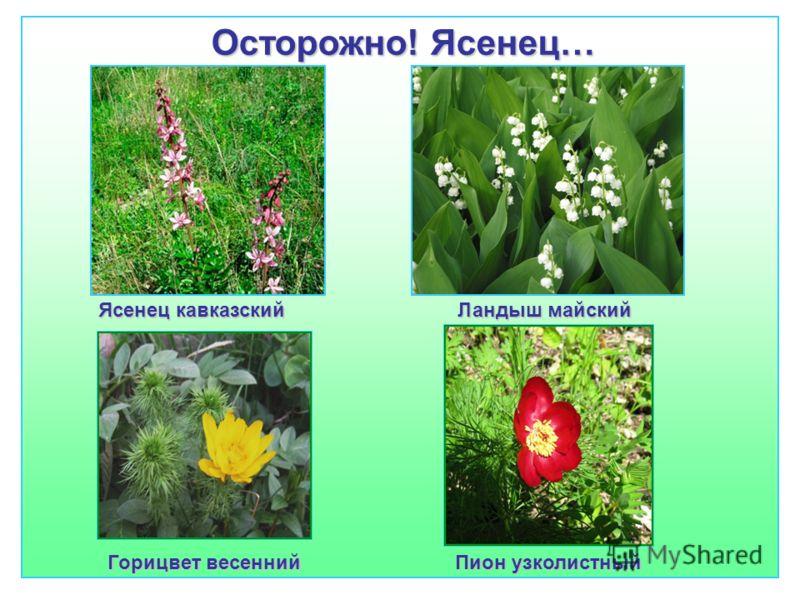 Осторожно! Ясенец… Ясенец кавказский Ландыш майский Горицвет весенний Пион узколистный