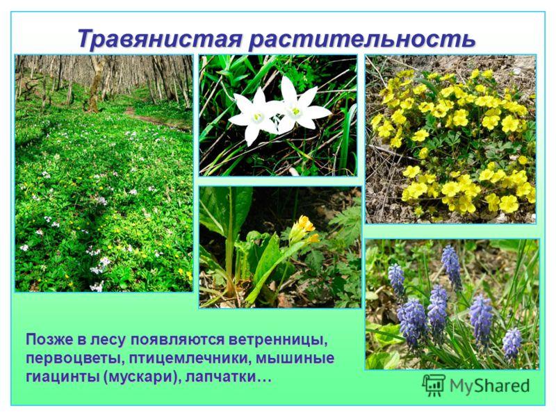 Травянистая растительность Позже в лесу появляются ветренницы, первоцветы, птицемлечники, мышиные гиацинты (мускари), лапчатки…