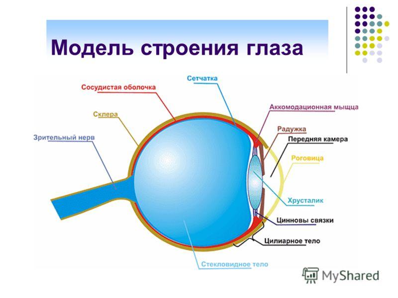 Модель строения глаза
