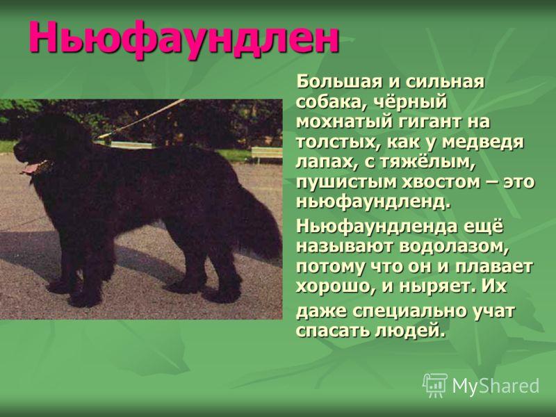 Собаки Презентация учеников 2 «Б» класса средней школы 781 Игнатовой Ксении, Калмыковой Александры и Кезина Константина