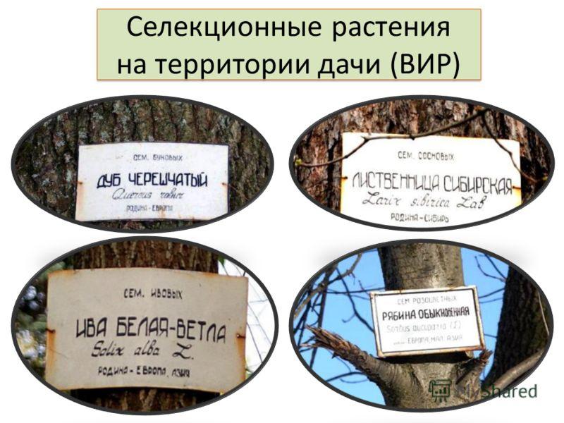 Селекционные растения на территории дачи (ВИР)