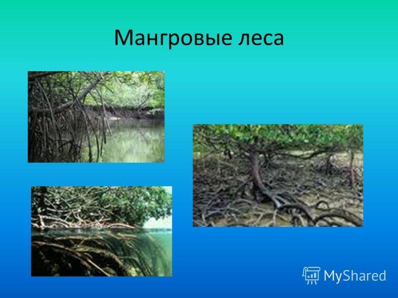 Мангровые леса Мангровые заросли, мангровы (от англ. mangrove), – древесно-кустарниковые растительные сообщества, развивающиеся на периодически затопляемых участках морских побережий и устьев рек, защищенных от прибоя и штормов коралловыми рифами или