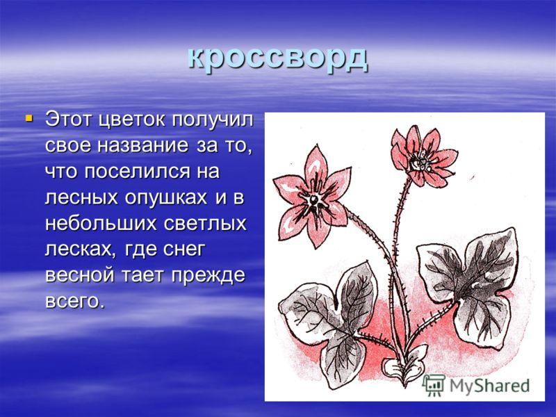 кроссворд Этот цветок получил свое название за то, что поселился на лесных опушках и в небольших светлых лесках, где снег весной тает прежде всего. Этот цветок получил свое название за то, что поселился на лесных опушках и в небольших светлых лесках,