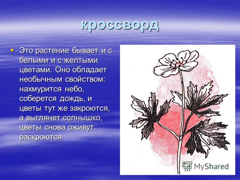 кроссворд Это растение бывает и с белыми и с желтыми цветами. Оно обладает необычным свойством: нахмурится небо, соберется дождь, и цветы тут же закроются, а выглянет солнышко, цветы снова оживут, раскроются Это растение бывает и с белыми и с желтыми
