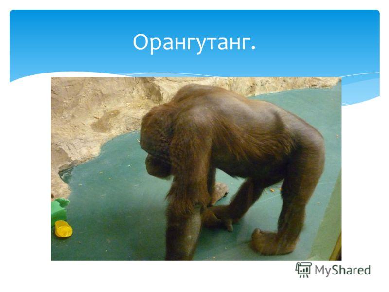 Орангутанг.