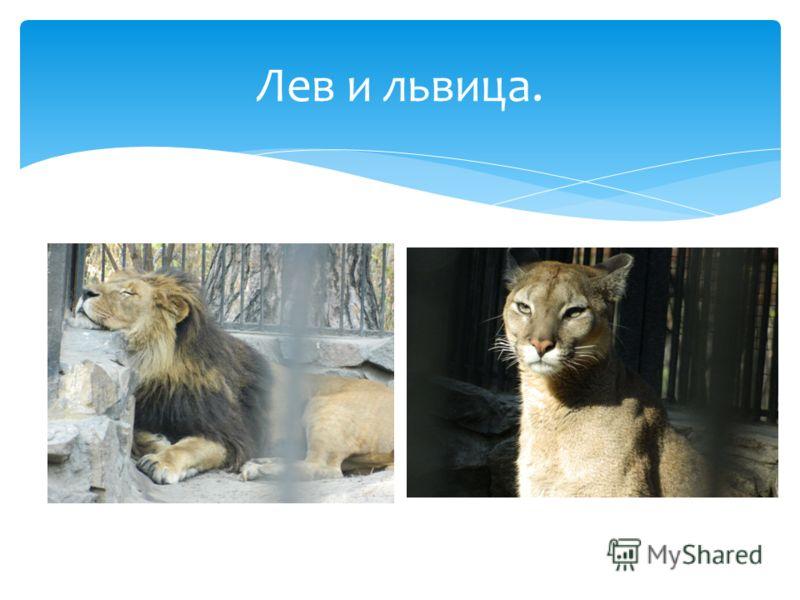 Лев и львица.