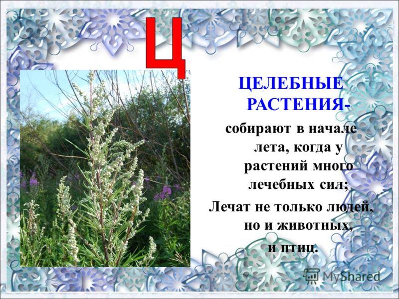 ЦЕЛЕБНЫЕ РАСТЕНИЯ- собирают в начале лета, когда у растений много лечебных сил; Лечат не только людей, но и животных, и птиц.