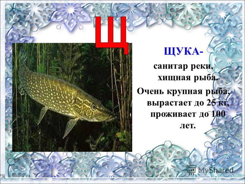 ЩУКА- санитар реки, хищная рыба. Очень крупная рыба, вырастает до 25 кг, проживает до 100 лет.