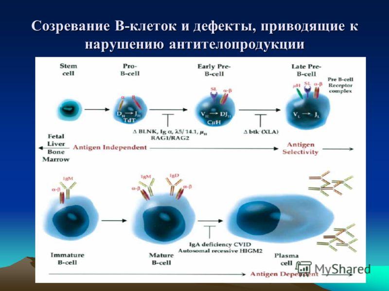 Созревание В-клеток и дефекты, приводящие к нарушению антителопродукции