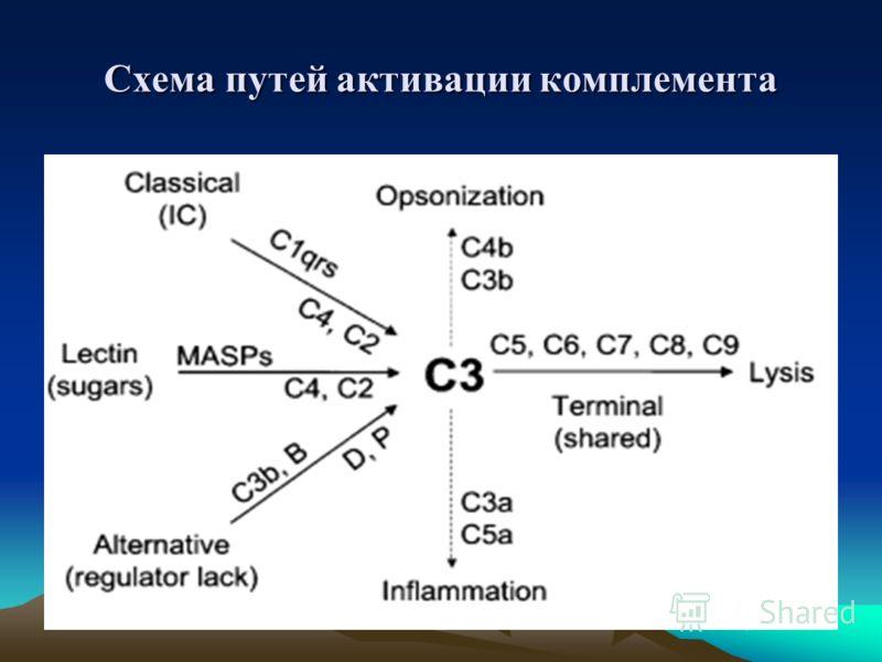 Схема путей активации комплемента