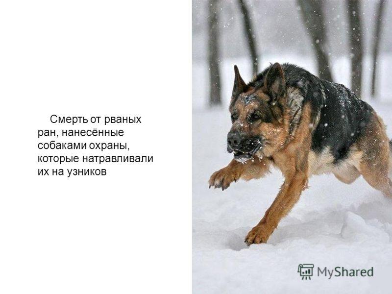Смерть от рваных ран, нанесённые собаками охраны, которые натравливали их на узников