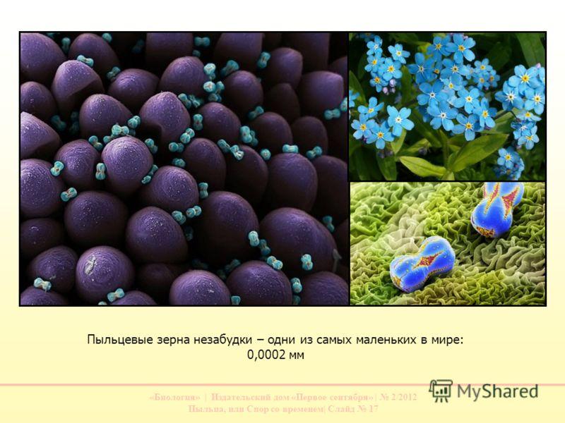 «Биология» | Издательский дом «Первое сентября» | 2/2012 Пыльца, или Спор со временем| Слайд 17 Пыльцевые зерна незабудки – одни из самых маленьких в мире: 0,0002 мм