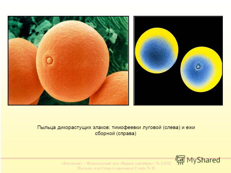 «Биология» | Издательский дом «Первое сентября» | 2/2012 Пыльца, или Спор со временем| Слайд 20 Пыльца дикорастущих злаков: тимофеевки луговой (слева) и ежи сборной (справа)