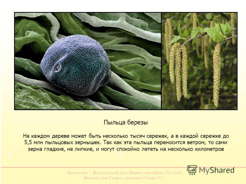 «Биология» | Издательский дом «Первое сентября» | 2/2012 Пыльца, или Спор со временем| Слайд 7 Пыльца березы На каждом дереве может быть несколько тысяч сережек, а в каждой сережке до 5,5 млн пыльцовых зернышек. Так как эта пыльца переносится ветром,