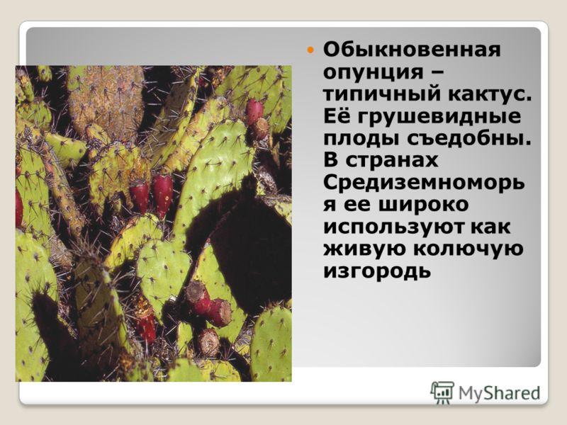 Обыкновенная опунция – типичный кактус. Её грушевидные плоды съедобны. В странах Средиземноморь я ее широко используют как живую колючую изгородь