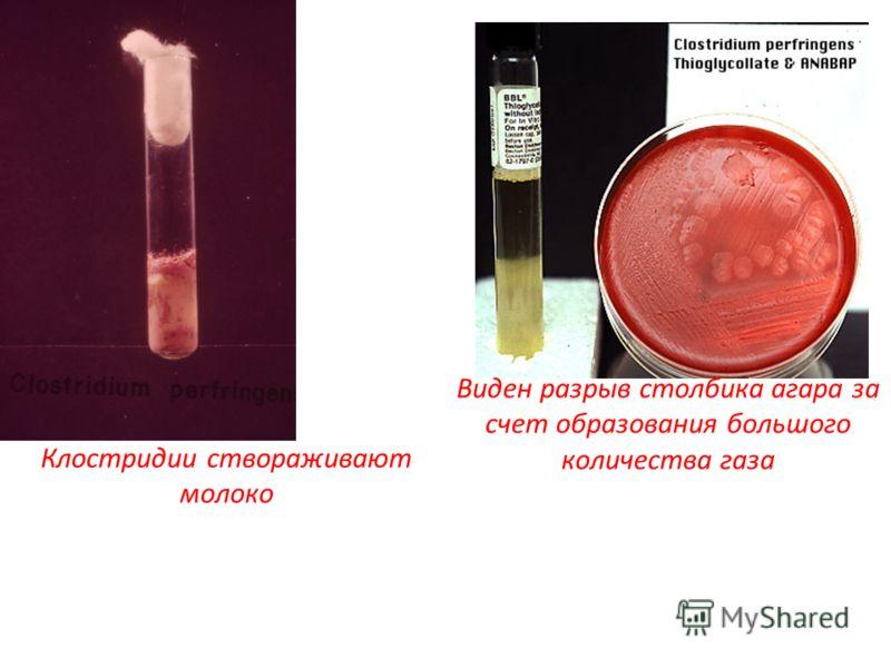 Клостридии створаживают молоко Виден разрыв столбика агара за счет образования большого количества газа