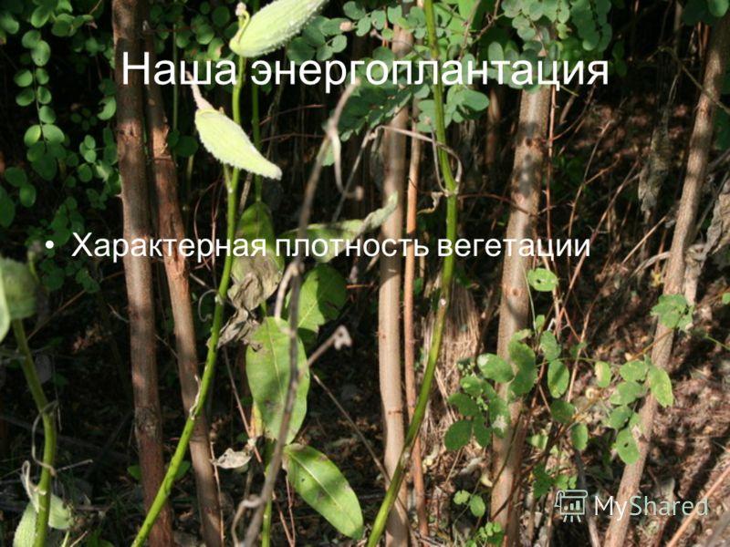 Наша энергоплантация Характерная плотность вегетации