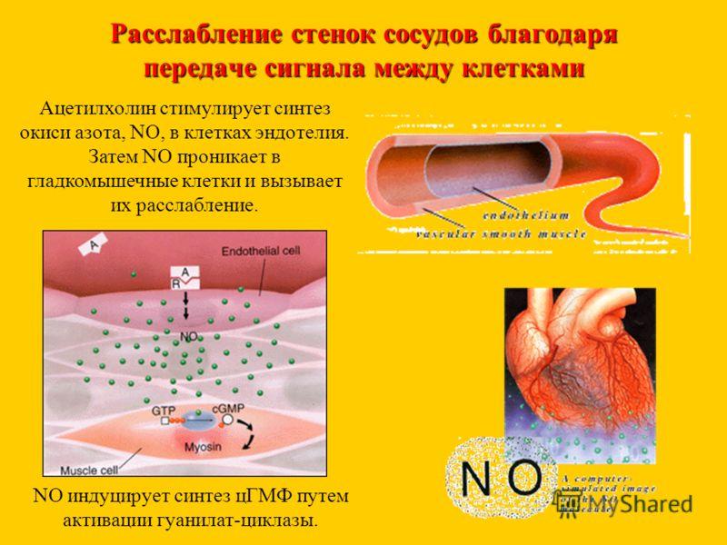 Расслабление стенок сосудов благодаря передаче сигнала между клетками Ацетилхолин стимулирует синтез окиси азота, NO, в клетках эндотелия. Затем NO проникает в гладкомышечные клетки и вызывает их расслабление. NO индуцирует синтез цГМФ путем активаци