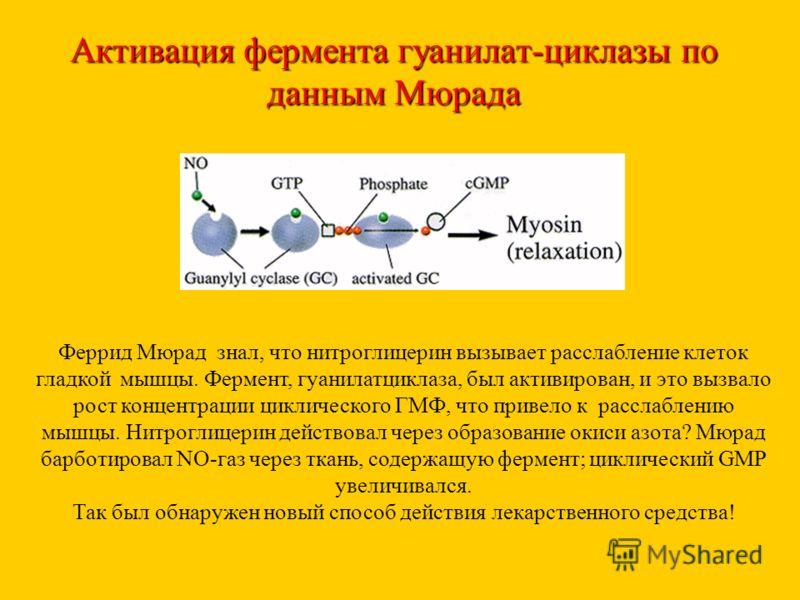 Активация фермента гуанилат-циклазы по данным Мюрада Феррид Мюрад знал, что нитроглицерин вызывает расслабление клеток гладкой мышцы. Фермент, гуанилатциклаза, был активирован, и это вызвало рост концентрации циклического ГМФ, что привело к расслабле