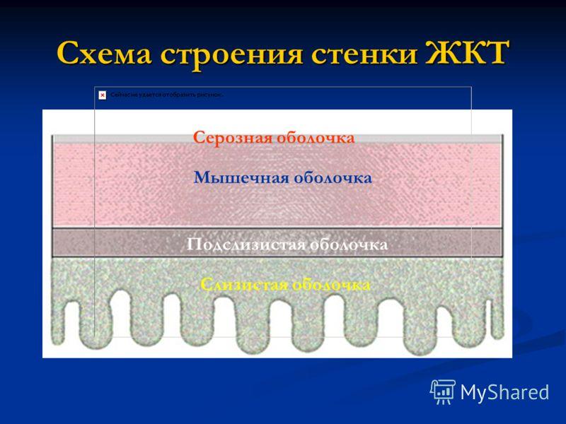 Схема строения стенки ЖКТ Серозная оболочка Мышечная оболочка Подслизистая оболочка Слизистая оболочка