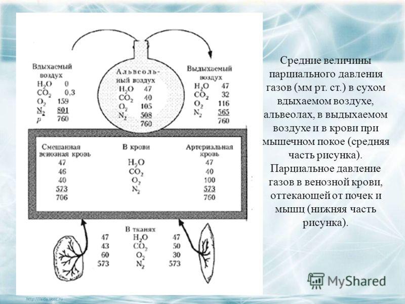 Средние величины парциального давления газов (мм рт. ст.) в сухом вдыхаемом воздухе, альвеолах, в выдыхаемом воздухе и в крови при мышечном покое (средняя часть рисунка). Парциальное давление газов в венозной крови, оттекающей от почек и мышц (нижняя