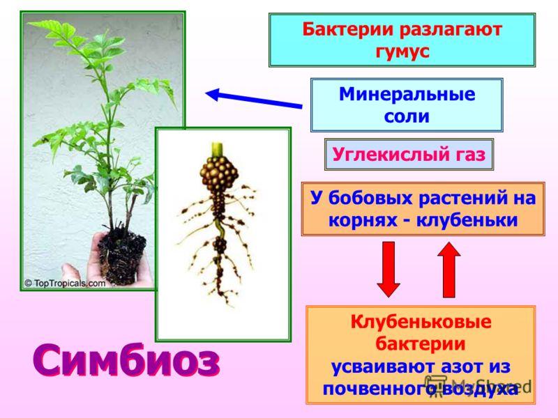 Бактерии разлагают гумус Углекислый газ Минеральные соли У бобовых растений на корнях - клубеньки Клубеньковые бактерии усваивают азот из почвенного воздуха Симбиоз