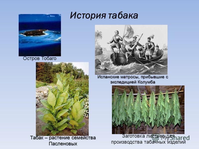 История табака Остров Тобаго Испанские матросы, прибывшие с экспедицией Колумба Табак – растение семейства Пасленовых Заготовка листьев для производства табачных изделий