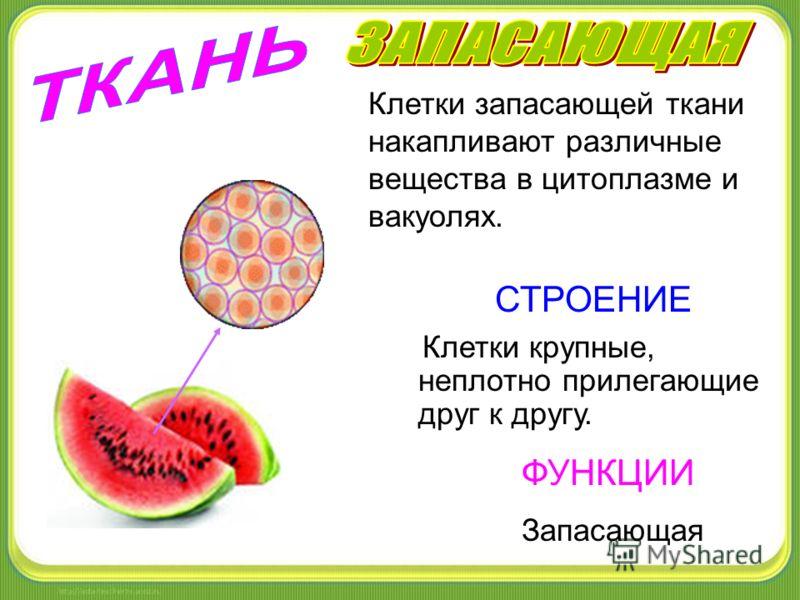 СТРОЕНИЕ ФУНКЦИИ Запасающая Клетки крупные, неплотно прилегающие друг к другу. Клетки запасающей ткани накапливают различные вещества в цитоплазме и вакуолях.