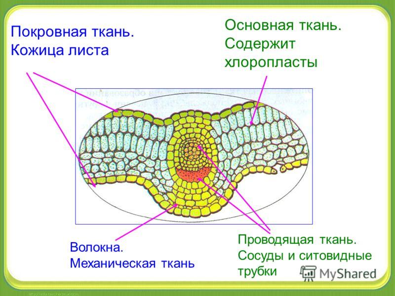 Покровная ткань. Кожица листа Основная ткань. Содержит хлоропласты Волокна. Механическая ткань Проводящая ткань. Сосуды и ситовидные трубки