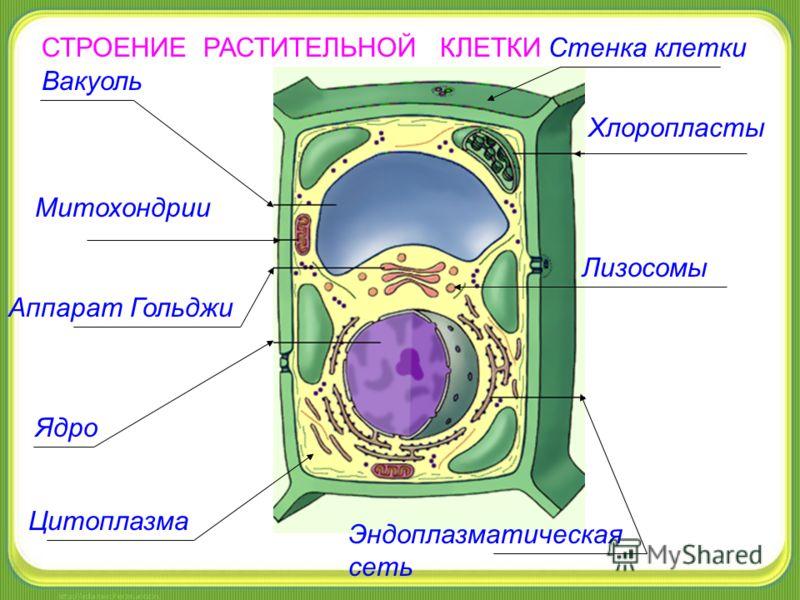 Хлоропласты Вакуоль Митохондрии Ядро Аппарат Гольджи Эндоплазматическая сеть Лизосомы Цитоплазма Стенка клеткиСТРОЕНИЕ РАСТИТЕЛЬНОЙ КЛЕТКИ