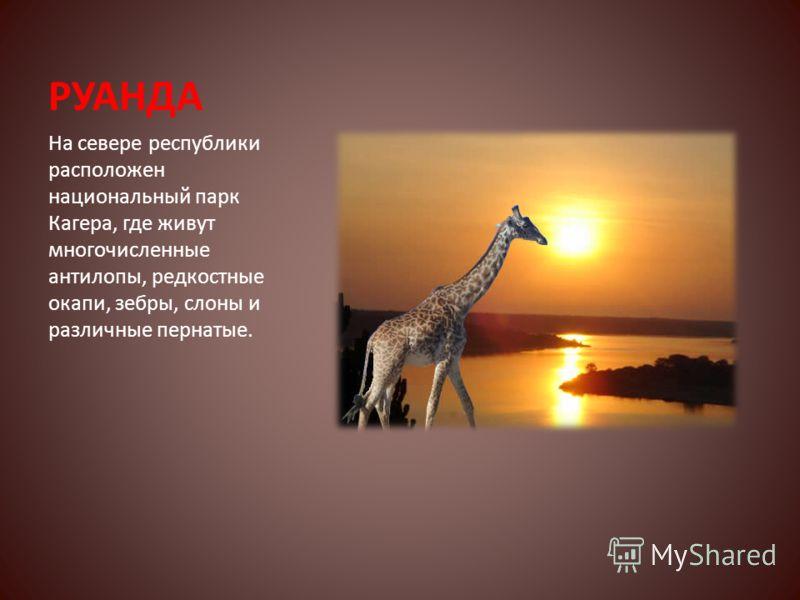 РУАНДА На севере республики расположен национальный парк Кагера, где живут многочисленные антилопы, редкостные окапи, зебры, слоны и различные пернатые.