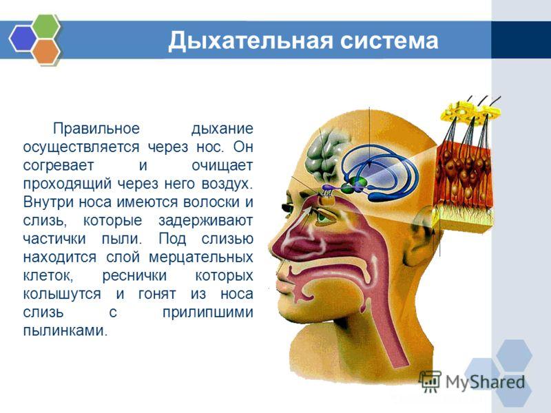 Правильное дыхание осуществляется через нос. Он согревает и очищает проходящий через него воздух. Внутри носа имеются волоски и слизь, которые задерживают частички пыли. Под слизью находится слой мерцательных клеток, реснички которых колышутся и гоня