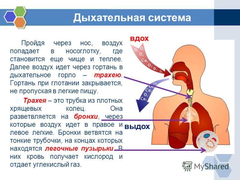 Пройдя через нос, воздух попадает в носоглотку, где становится еще чище и теплее. Далее воздух идет через гортань в дыхательное горло – трахею. Гортань при глотании закрывается, не пропуская в легкие пищу. Трахея – это трубка из плотных хрящевых коле