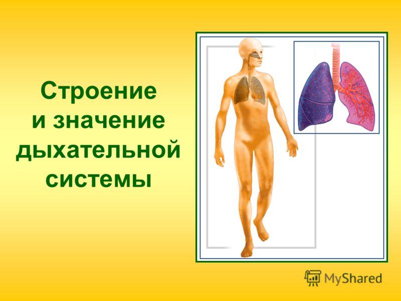 Строение и значение дыхательной системы