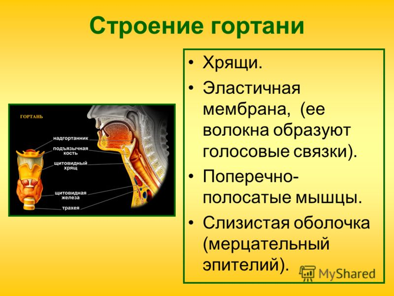 Строение гортани Хрящи. Эластичная мембрана, (ее волокна образуют голосовые связки). Поперечно- полосатые мышцы. Слизистая оболочка (мерцательный эпителий).