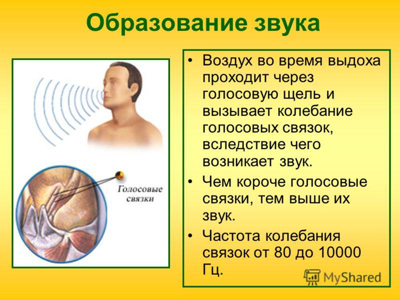 Образование звука Воздух во время выдоха проходит через голосовую щель и вызывает колебание голосовых связок, вследствие чего возникает звук. Чем короче голосовые связки, тем выше их звук. Частота колебания связок от 80 до 10000 Гц.