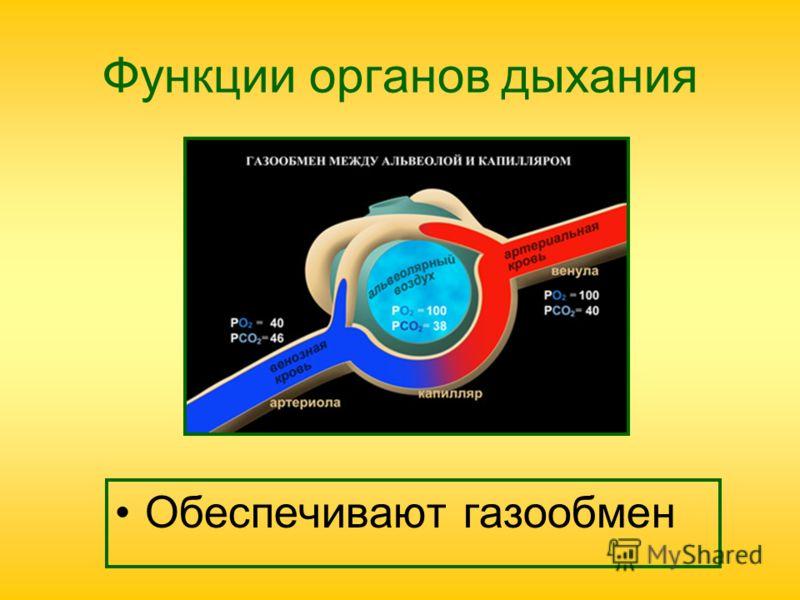 Функции органов дыхания Обеспечивают газообмен