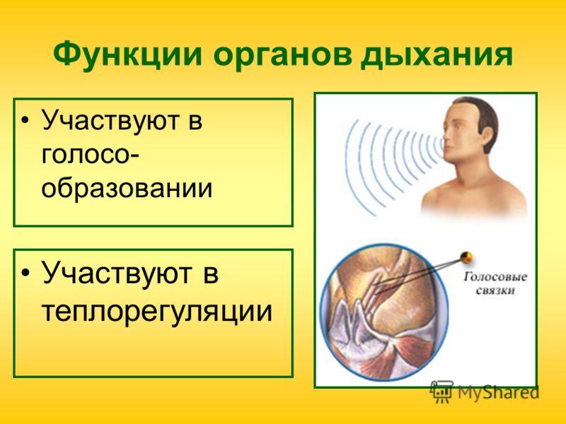 Функции органов дыхания Участвуют в голосо- образовании Участвуют в теплорегуляции