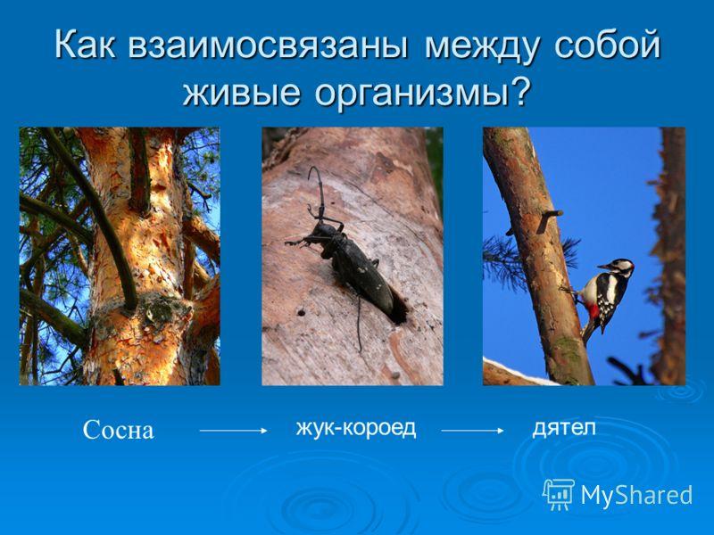 Как взаимосвязаны между собой живые организмы? Сосна жук-короеддятел