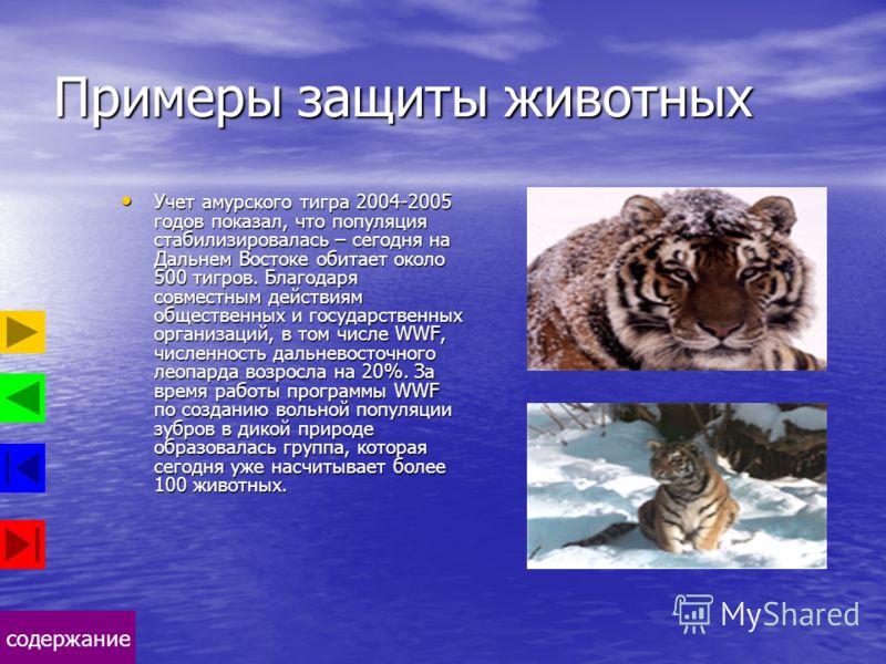 содержание Примеры защиты животных Учет амурского тигра 2004-2005 годов показал, что популяция стабилизировалась – сегодня на Дальнем Востоке обитает около 500 тигров. Благодаря совместным действиям общественных и государственных организаций, в том ч