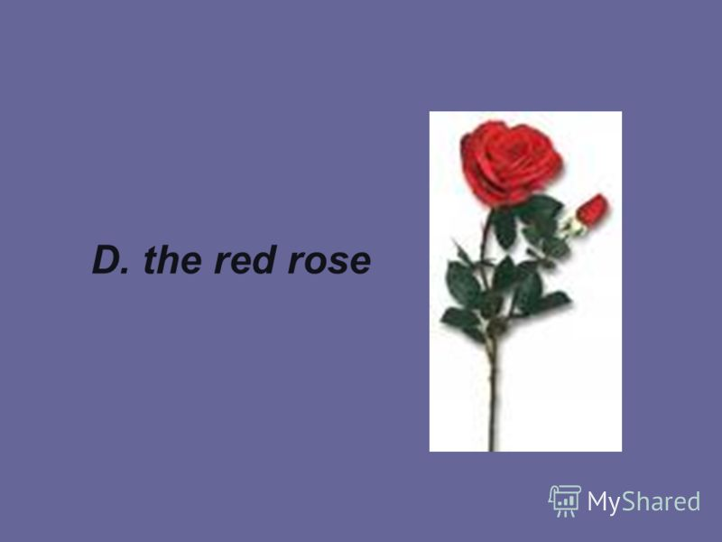 D. the red rose