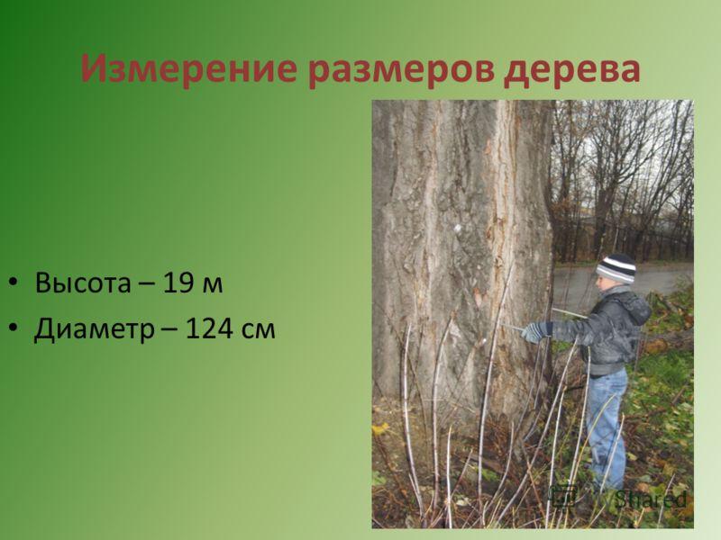 Измерение размеров дерева Высота – 19 м Диаметр – 124 см